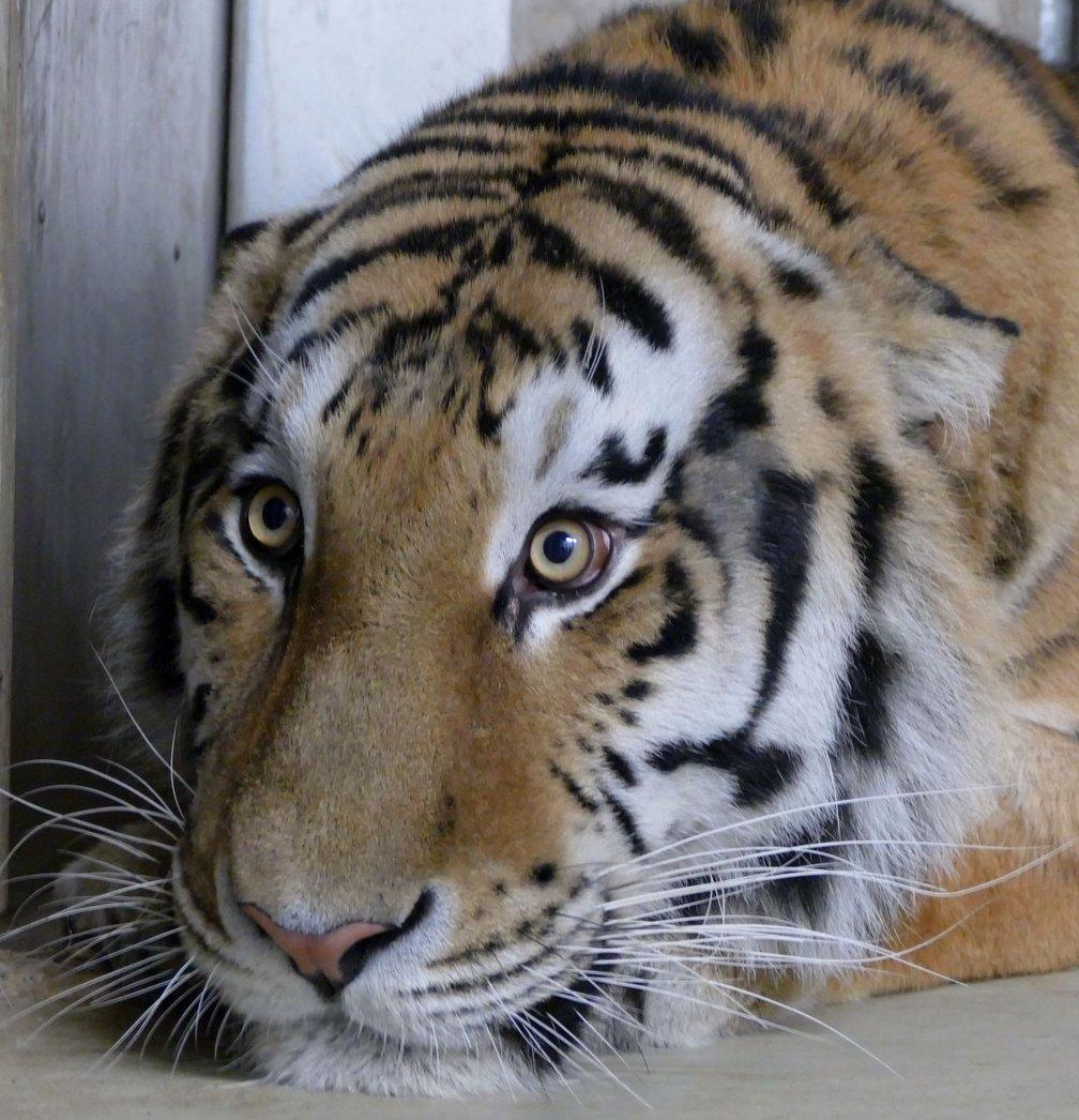 Tiger_Nikolai_Crop